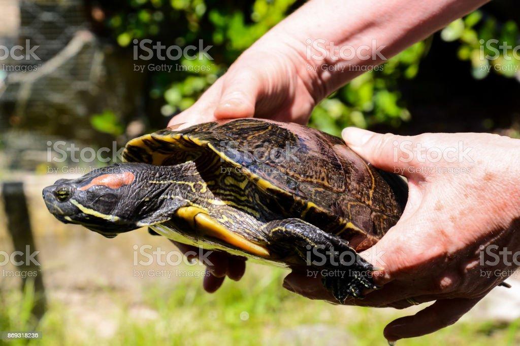 Common turtle Slider Trachemys scripta stock photo