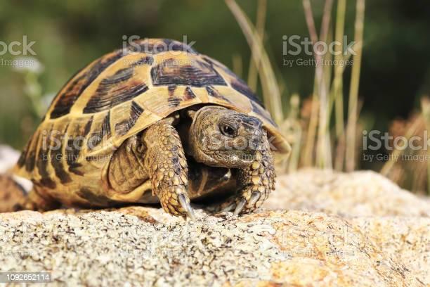 Common turtoise in natural habitat picture id1092652114?b=1&k=6&m=1092652114&s=612x612&h=qbfejtlx7riulllyewiz40si8l9ufkpjcgowwr6sfvk=