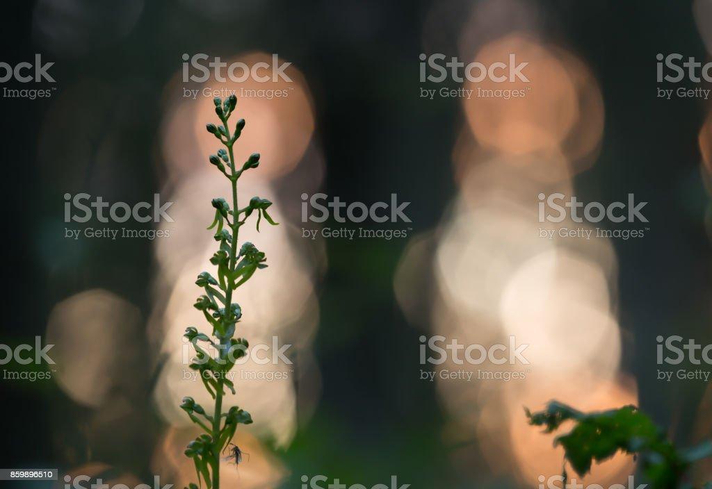 Common twayblade, Neottia ovata in twilight stock photo