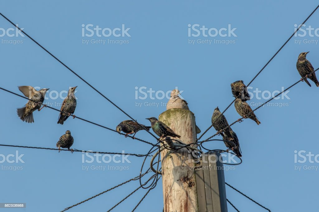 Common urban bird pests. Pigeon and starlings on telegraph pole wires. Nuisance animals that are considered as vermin. stock photo