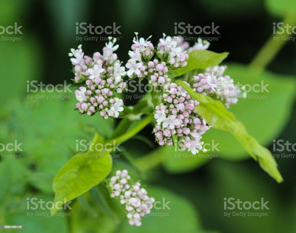 Gemeinsame Baldrian (Valeriana Officinalis) Blume blühen im Frühling – Foto