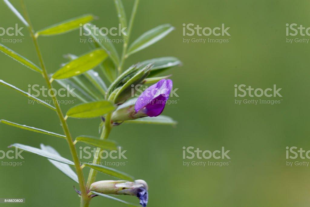 Common vetch (Vicia sativa) stock photo