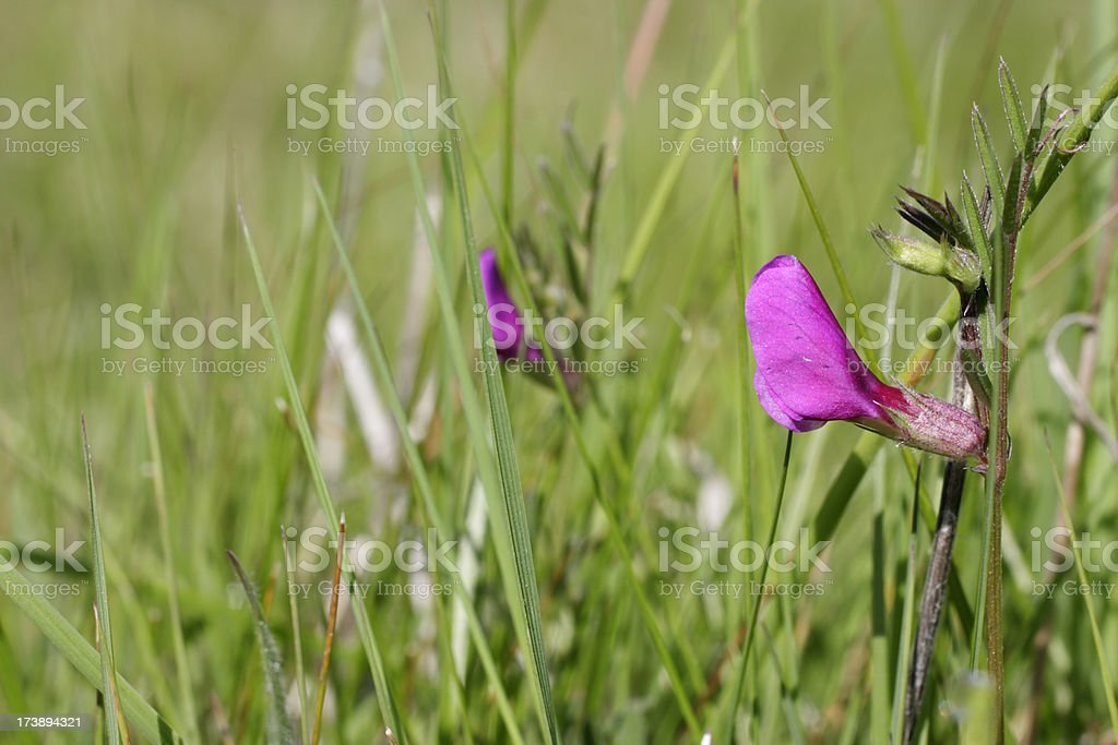 Common vetch Vicia sativa close up copy space stock photo