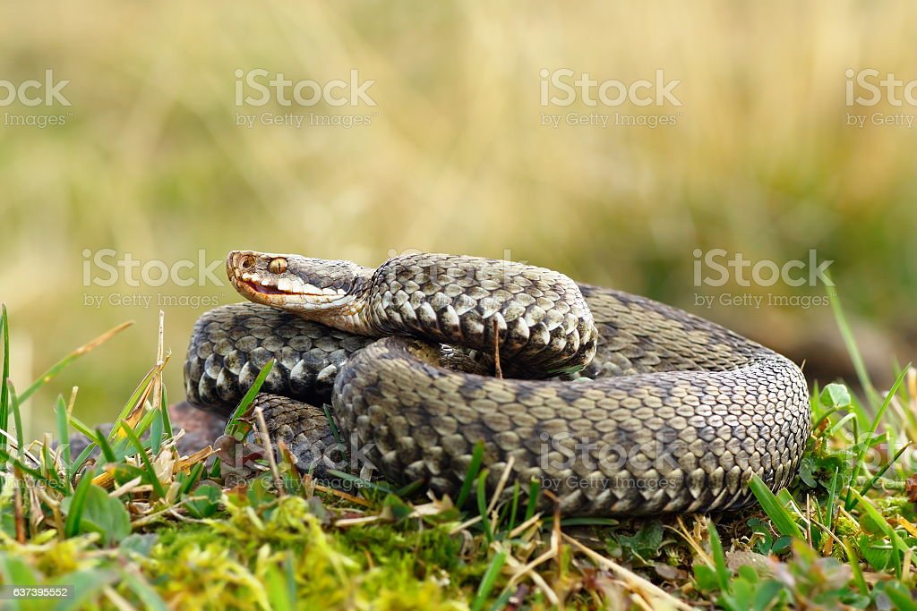 common viper basking on meadow stock photo