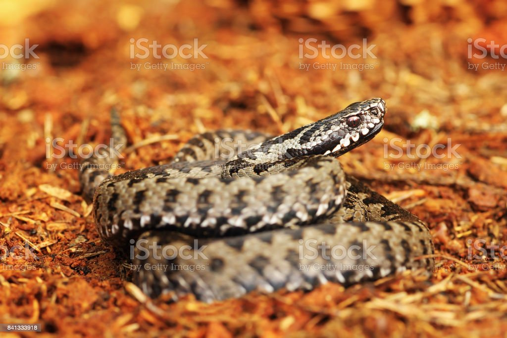 common viper standing on spruce forest ground stock photo