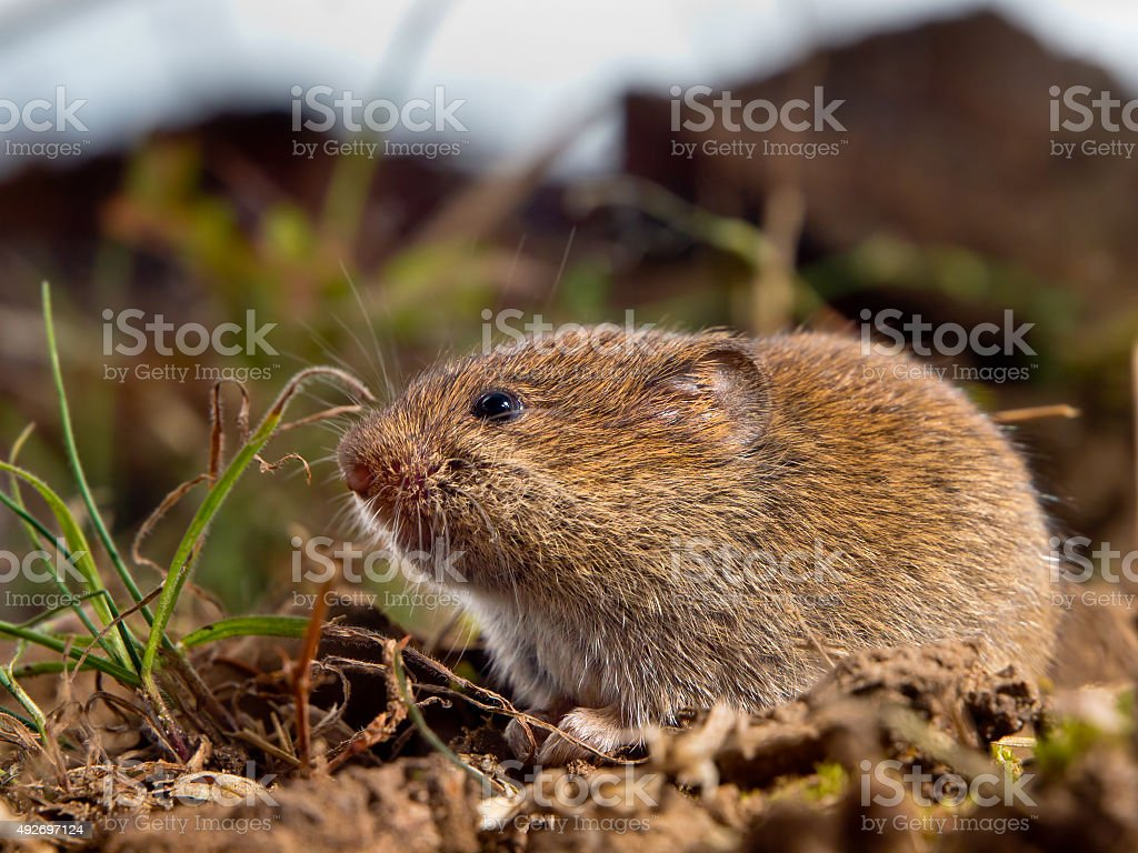 Common Vole (Microtus arvalis) on the ground in a field stock photo