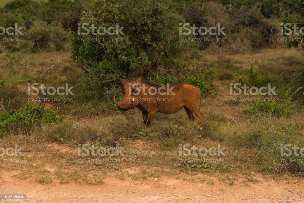 Common warthog browsing around on the savannah in Addo Elephant Park stock photo