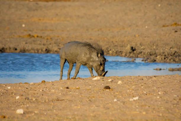 Common Warthog stock photo