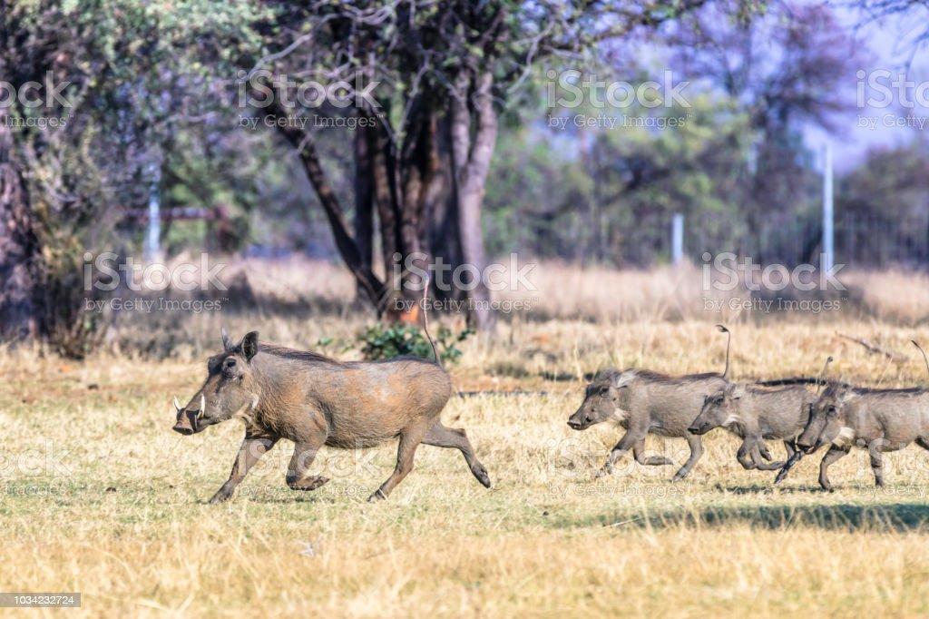Common Warthog running (Phacochoerus africanus) royalty-free stock photo