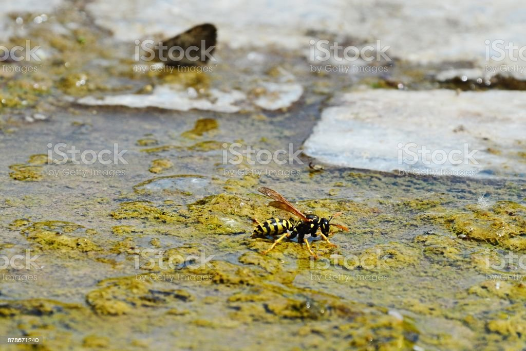 Common wasp Vespula Vulgaris drinking water from algoid puddle made next to public fountain stock photo