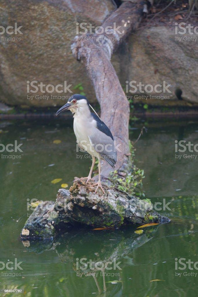 一般的な水鳥を踏んで木 - サギのロイヤリティフリーストックフォト