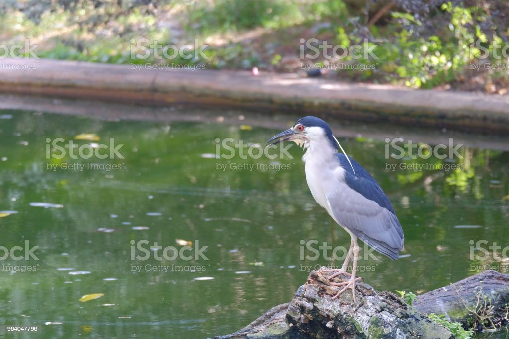 Common water bird standing on the wood - Royalty-free Animal Stock Photo