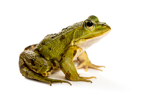 Common Water Frog In Front Of A White Background Stock ...