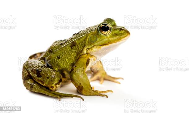 Photo of Common Water Frog in front of a white background