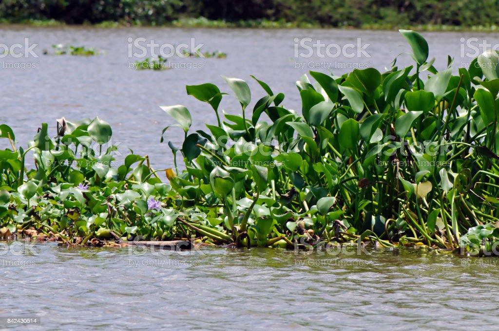 Common Dickstielige Wasserhyazinthe – Foto