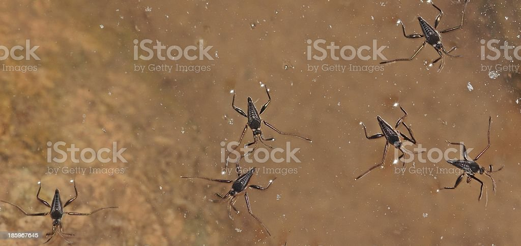 Common Water Striders stock photo