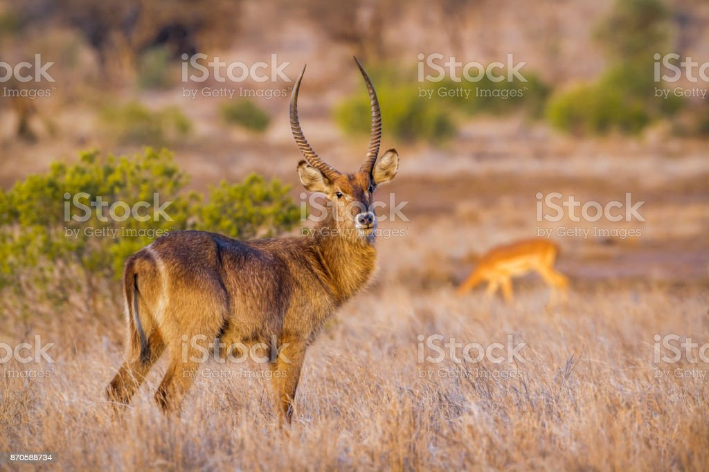 Common Waterbuck in Kruger National park, South Africa stock photo