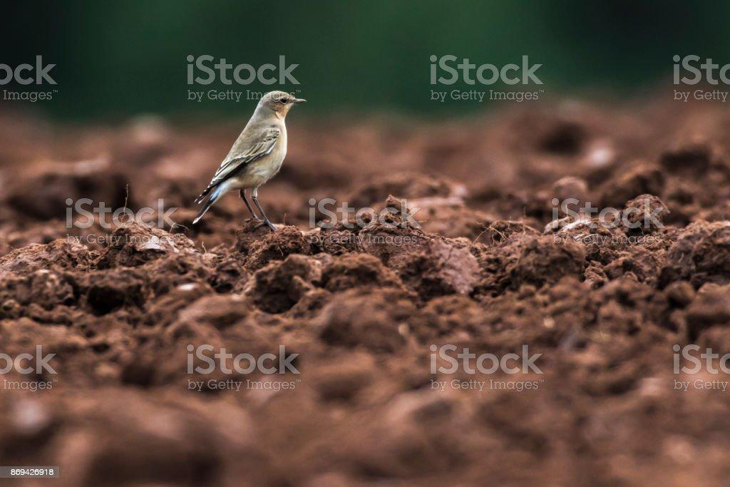 Common wheatear stock photo