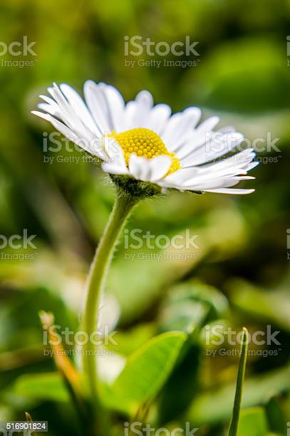 Photo of common white daisy in the grass