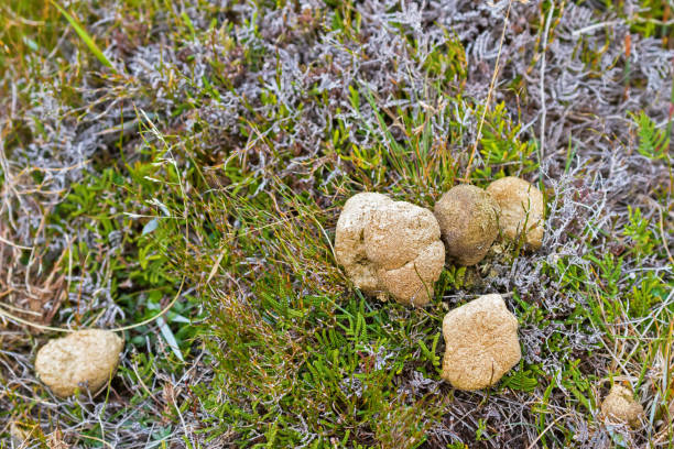 common wombat leaving poo, feces on green grass at cradle mountain, tasmania, australia - wombat stock photos and pictures