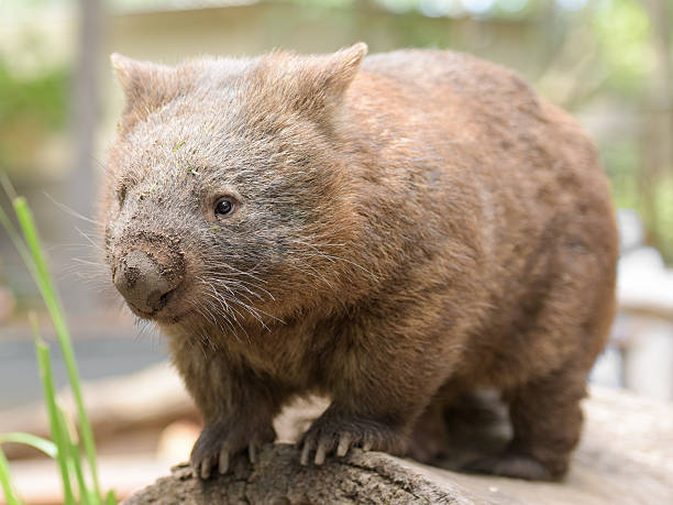 common wombat - wombat stock photos and pictures