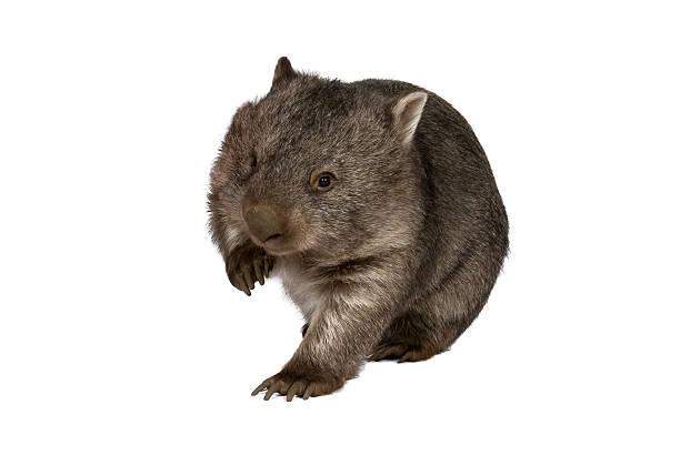 common wombat, vombatus ursinus hirsutus, on white background - wombat stock photos and pictures