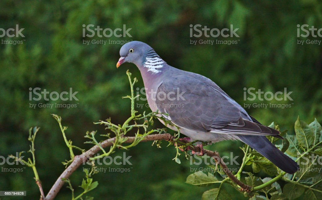 Common wood pigeon perched on a branch in front of a green background stock photo