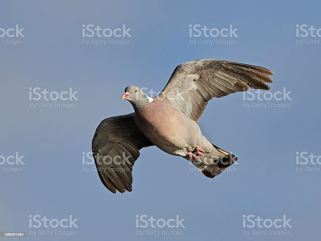 Common wood pigeon (Columba palumbus) royalty-free stock photo