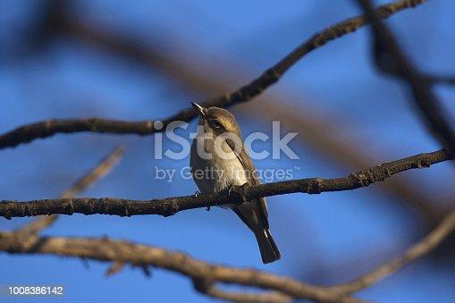 istock Common woodshrike, Tephrodornis pondicerianus, Bandhavgarh Tiger Reserve, Madhya Pradesh, India 1008386142