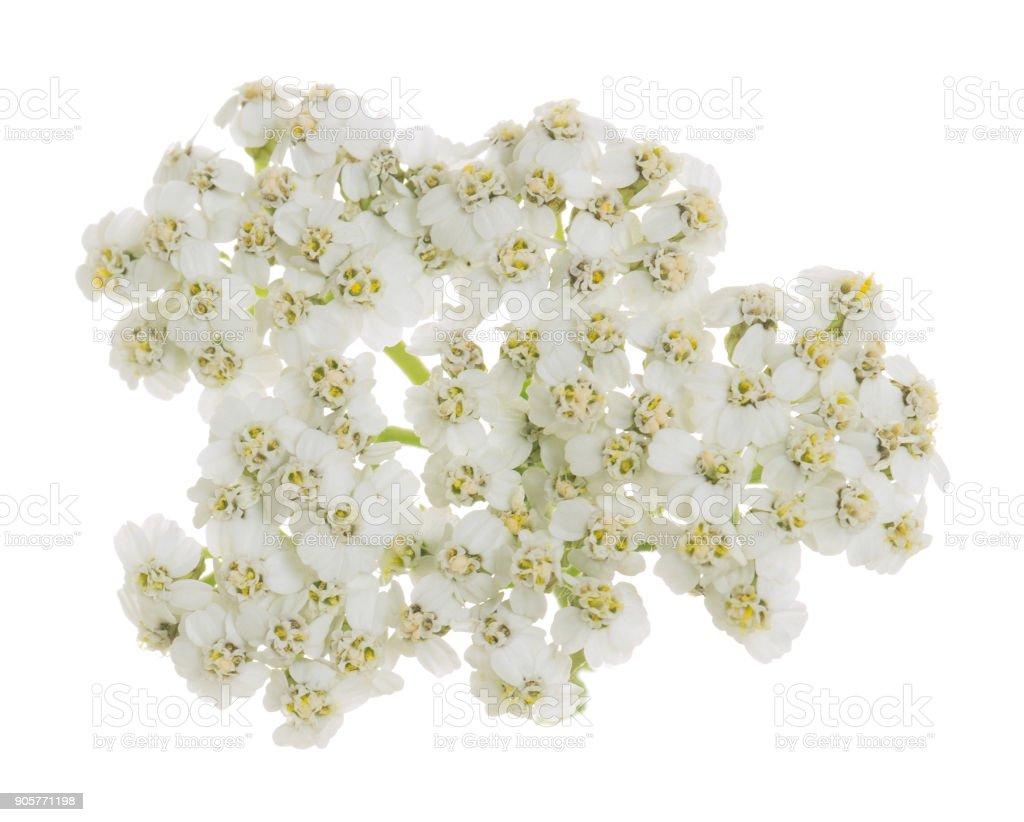 Common yarrow flower isolated on white background stock photo