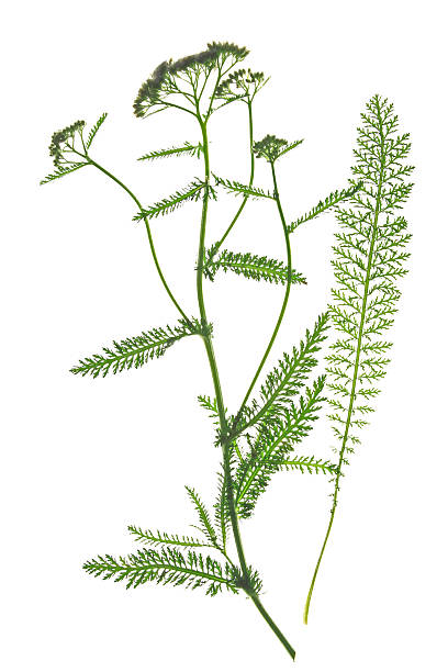Common Schafgarbe (Achillea millefolium) – Foto