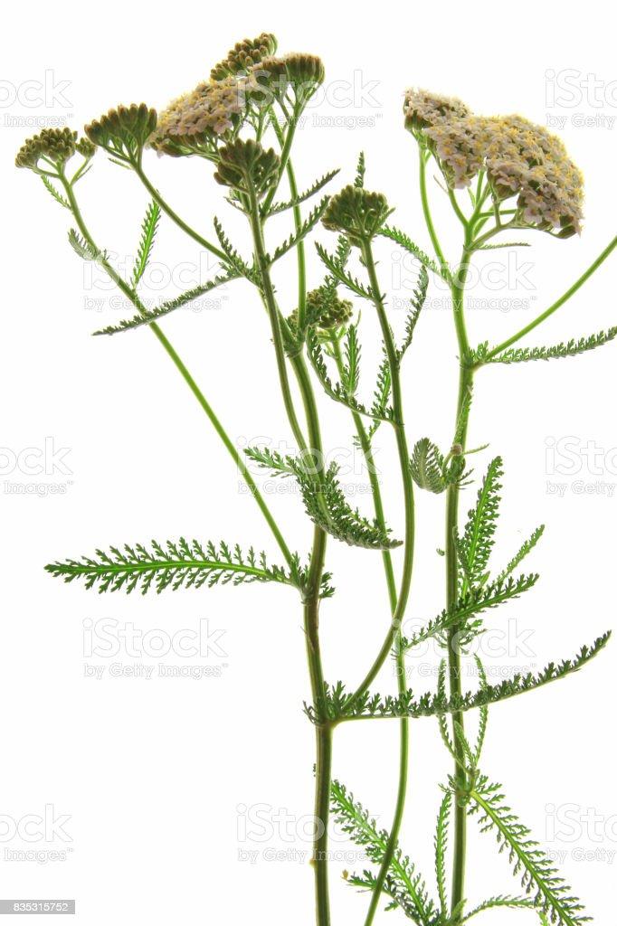 Common Yarrow (Achillea millefolium) stock photo