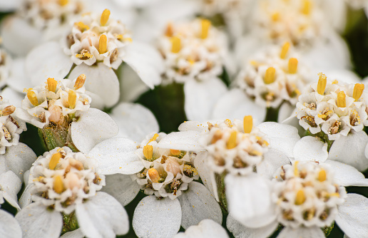 Common yarrow tiny white and yellow flowers, closeup macro detail.