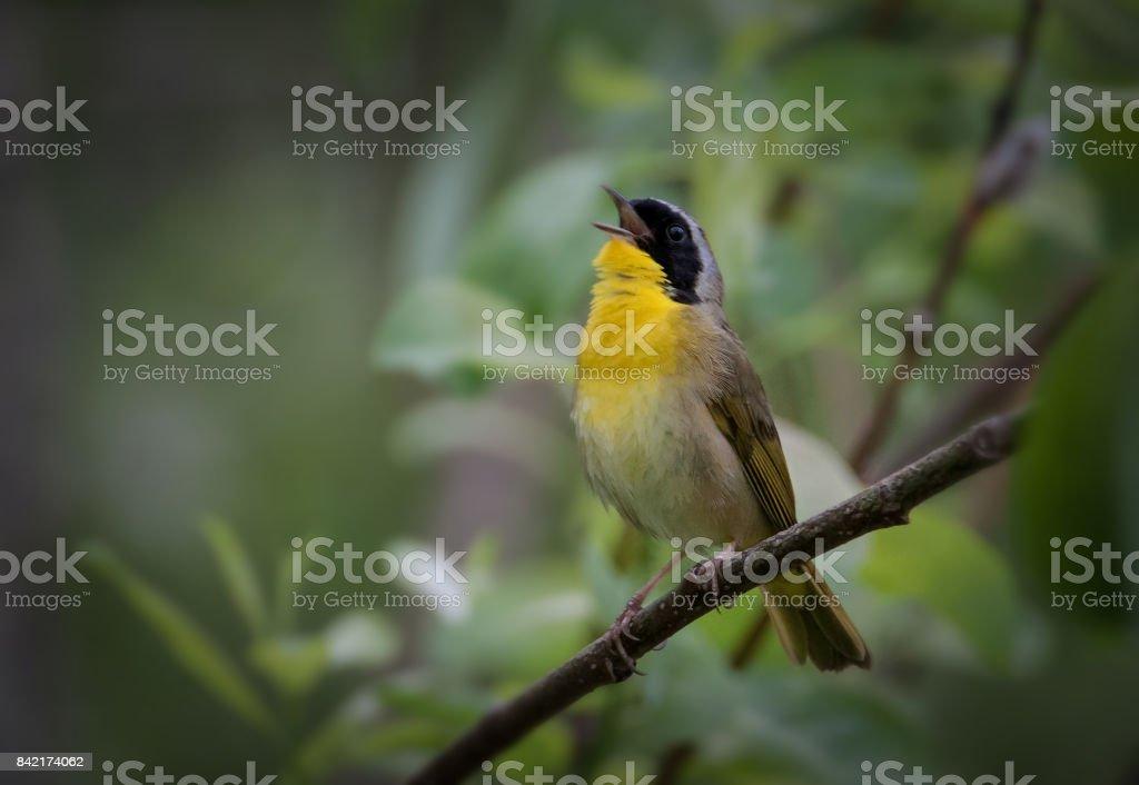 Common Yellothroat singing stock photo