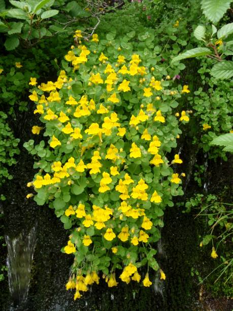 common yellow monkey flower - logan pass stock pictures, royalty-free photos & images