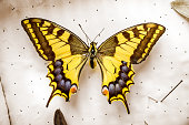 istock Common yellow swallowtail butterfly on white display 1331811291