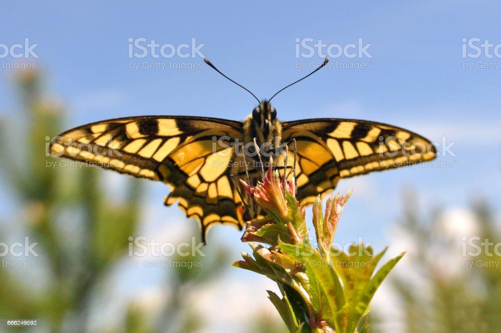 Бабочка Махаон жёлтый. — National Geographic Россия: красота мира ... | 681x1024