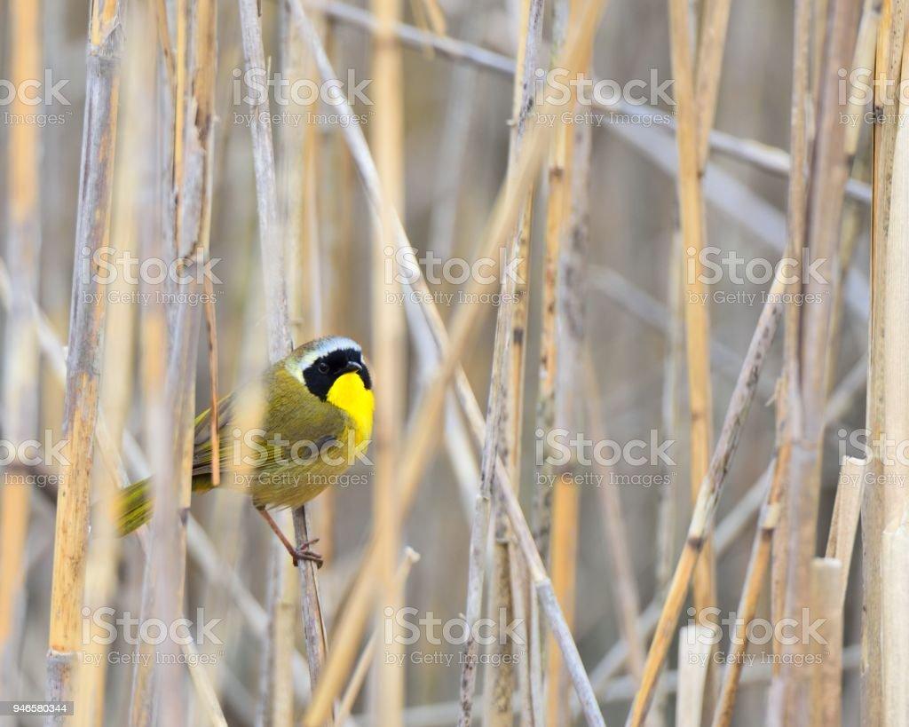 Common Yellowthroat in Marsh stock photo
