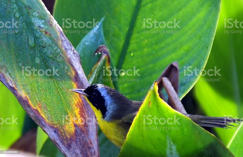 Common Yellowthroat (Geothlypis trichas) stock photo