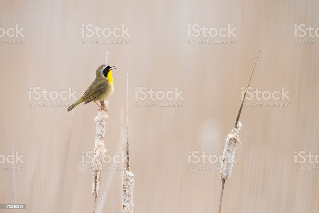 Common Yellowthroat warbler singing and perching stock photo