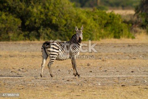 Common zebra halts to check for danger