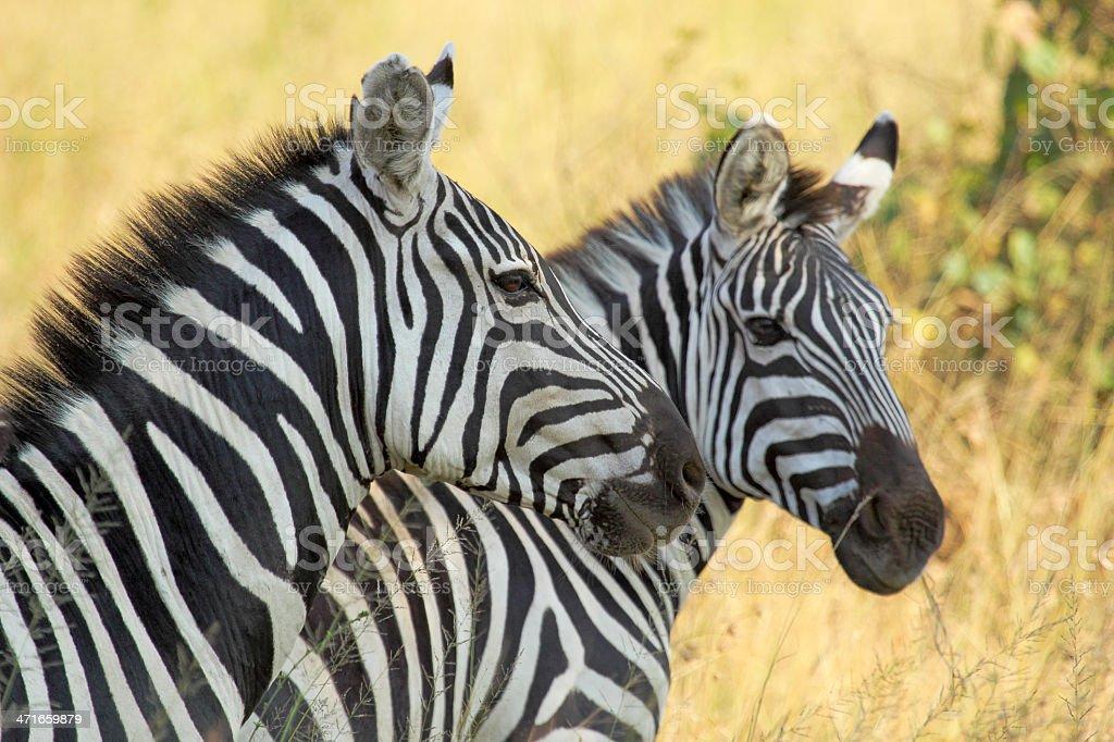 Common zebras royalty-free stock photo