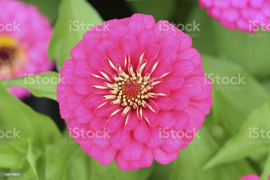 Common zinnia royalty-free stock photo