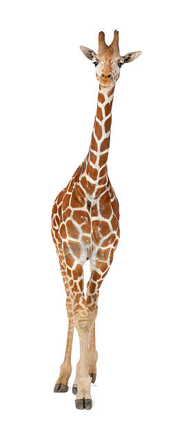 commonly known as reticulated giraffe, giraffa camelopardalis - giraffe stock photos and pictures