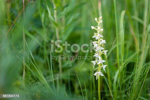 Wild orchid (Platanthera bifolia) or Lesser Butterfly-orchid