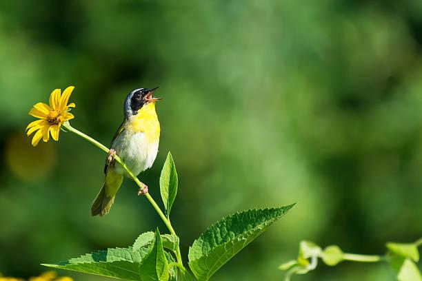 commoon yellowthroat - zanger vogel stockfoto's en -beelden