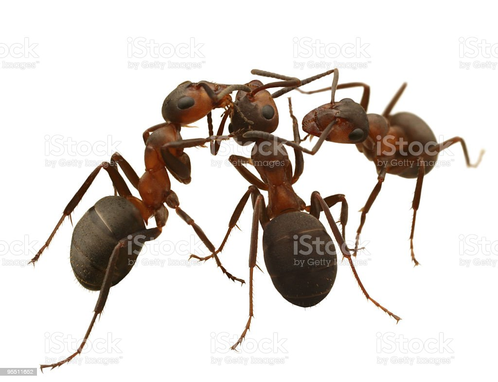 communications of ants royalty-free stock photo