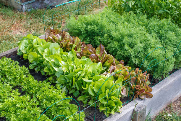 Community Garden Rows of green vegetables grow an urban community garden community garden stock pictures, royalty-free photos & images