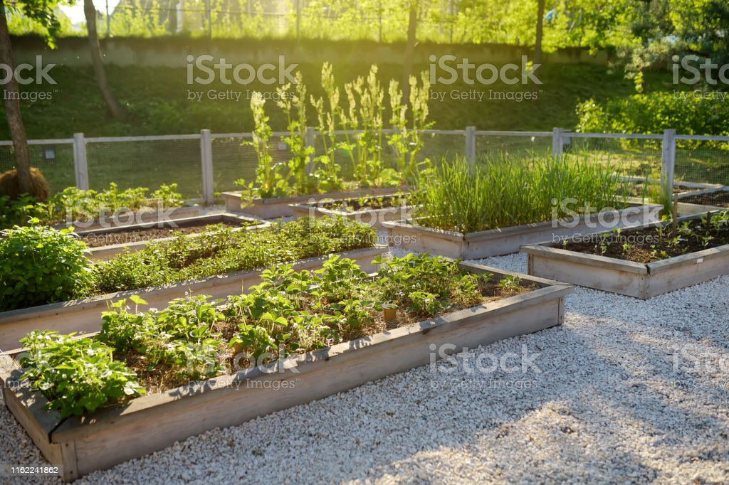 Community Kitchen Garden Raised Garden Beds With Plants In Vegetable Community Garden Stock Photo Download Image Now Istock