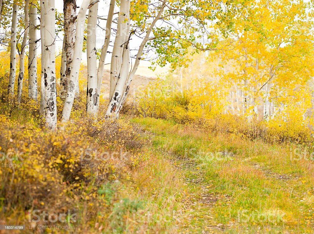 Community of aspens during fall with old road stock photo